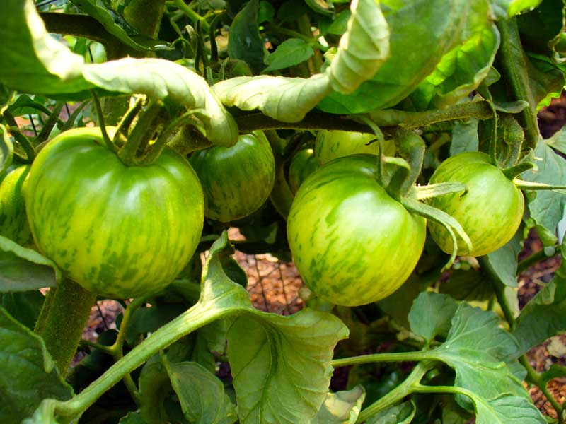 Plow Maker Farms: Black and Brown Boar tomatoes show mottled green coloring when unripe