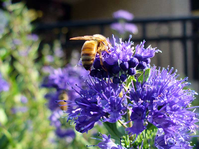Plow Maker Farms: Honeybee on flowers